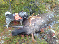 Moose hunting with dog
