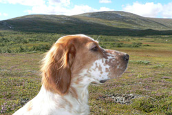 White grouse hunting with dog