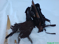 Great grouse hunting with skis